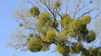 depositphotos_155914868-stock-video-a-sick-tree-mistletoe-on